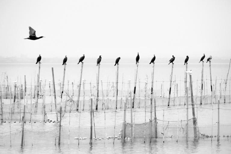 cormoranes valencia albufera